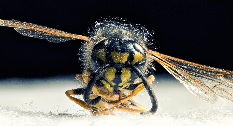 Junge Wespe